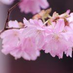 Flores del arbol ciruelo en primavera en Chile
